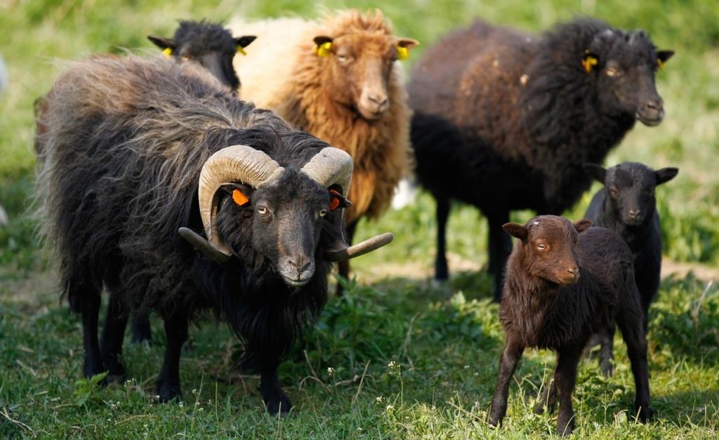 entretien des berges par les moutons
